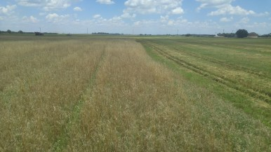 Late harvest means weeds in the wheat