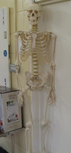 Lot 345 - Anatomical resin skeleton - Sold for £70