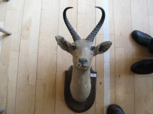 Lot 192 - South African Springbok mounted head 1914 - Sold for £50