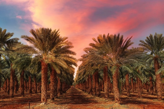 Dattelpalmen im Jordantal. Foto Shutterstock