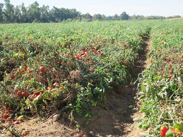 Tout savoir sur la culture durable des tomates ma p 39 tite cuisine - Culture haricot vert plein champ ...