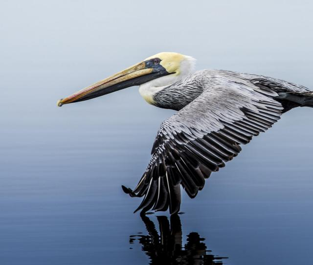Brown Pelican Audubon Field Guide