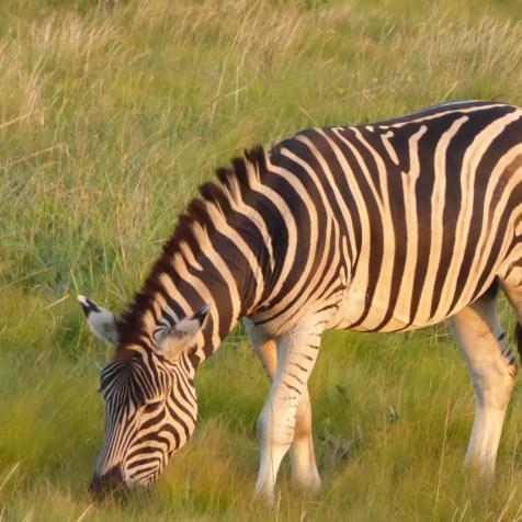 stlucia_zebra