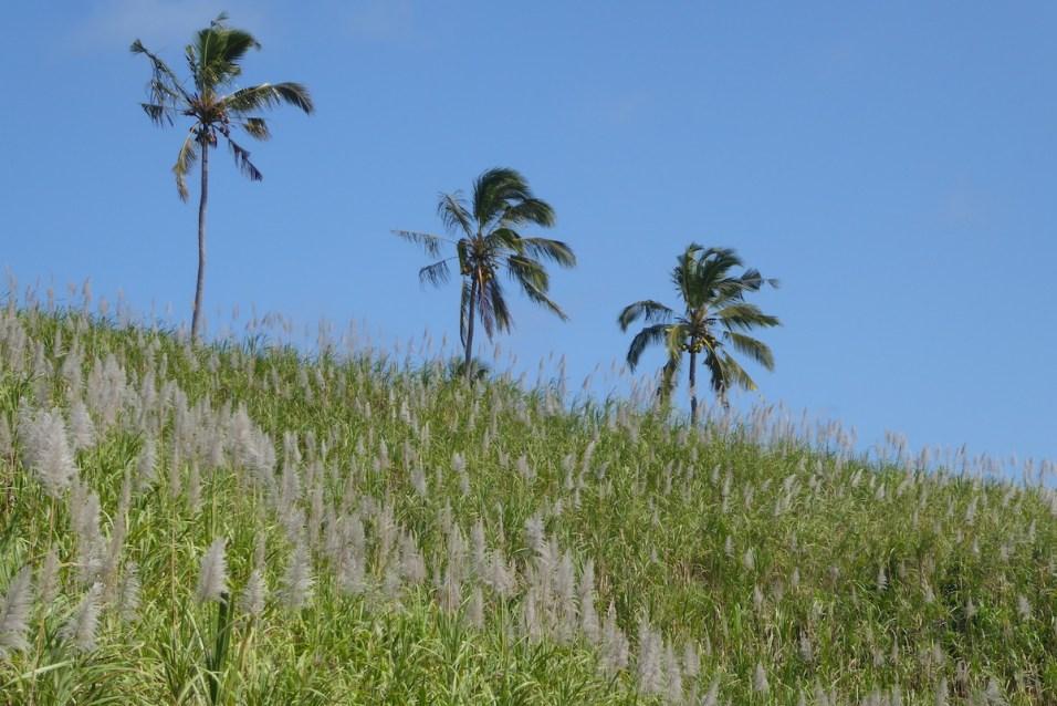 mauritius_zuckerrohr