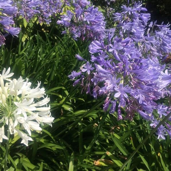 Australien-Melbourne-StKilda-BotanischerGarten-Blumen