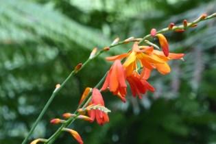 Australien-YarraValley-Orchidee
