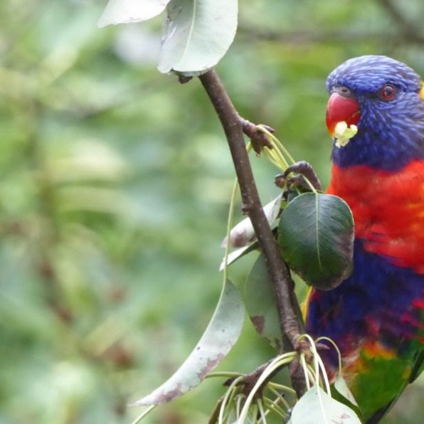 Australien-Tierleben-Papagei