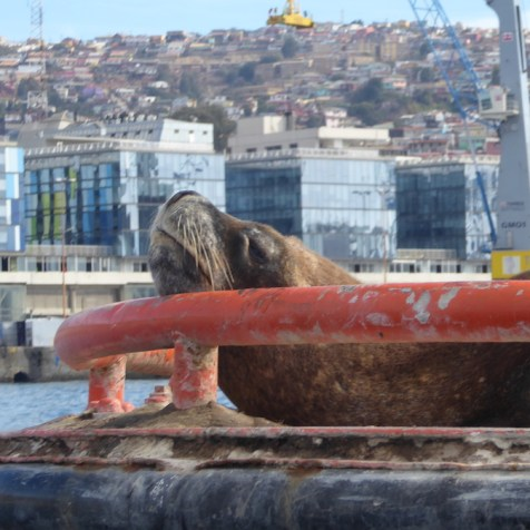 Chile-Valparaiso-Hafenrundfahrt-Seeloewin