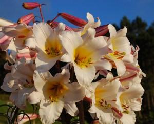 Karališkoji lelija (Lilium regale)