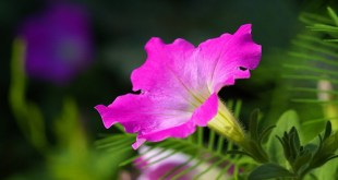 Petunija darželinė (Petunia hybrida)