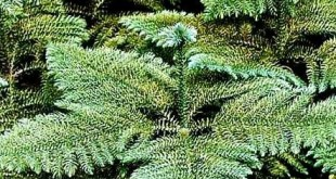 Araukarija aukštoji (Araucaria excelsa)