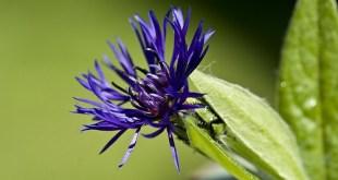 Bajorė (Centaurea)