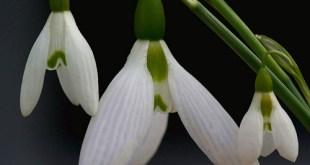 Baltoji snieguole (Galanthus nivalis)