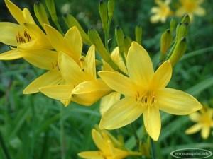 Geltonoji viendienė (Hemerocallis lilio asphodelus)