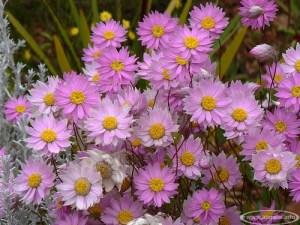Sausutis (Helipterum)