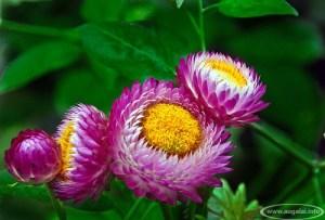 Šlamutis darželinis (Helichrysum bracteatum)
