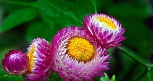 Šlamutis darželinis -Helichrysum bracteatum