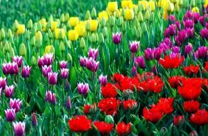 Tulpės (Tulips)