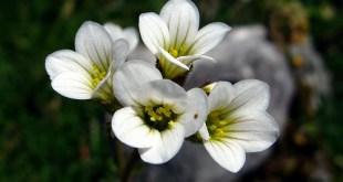 Uolaskėlė svyrančioji (Saxifraga sarmentosa)