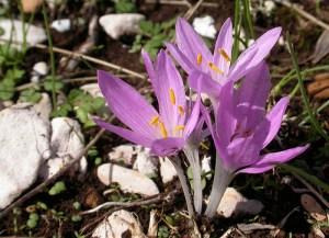 Vėlyvis (Colchicum)1