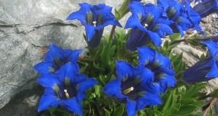 Bestiebis gencijonas (Gentiana acaulis)