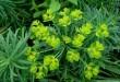 Siauralapė karpažolė (Euphorbia cyparissias)