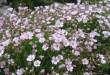 Šliaužiančioji guboja (Gypsophila repens)