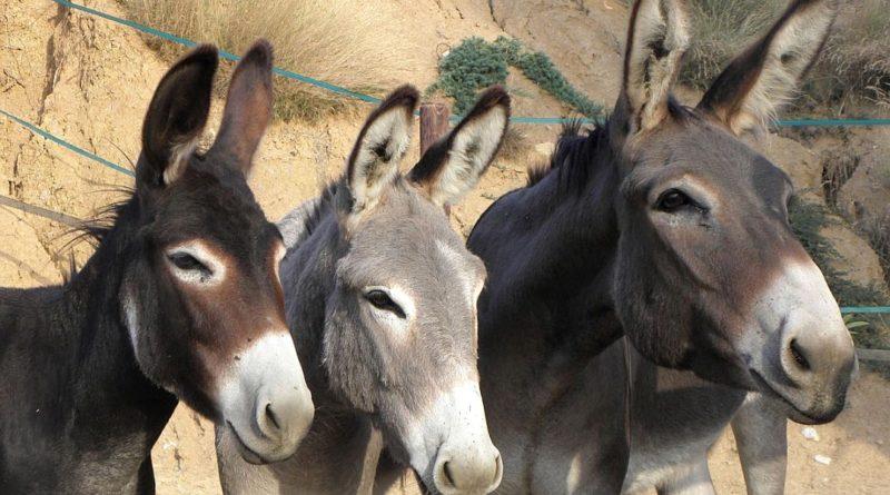 Santé animale : la «Gourme» décime les équidés