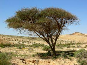 Désert 9 – Je planterai dans le désert le cèdre et l'acacia (Is 41)