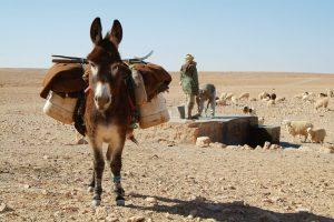 âne au désert