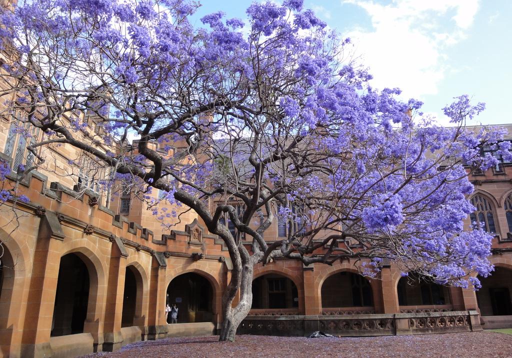 又見藍花楹 那一抹醉人的紫 - 澳洲生活網