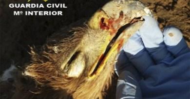 Águila Imperial tiroteada