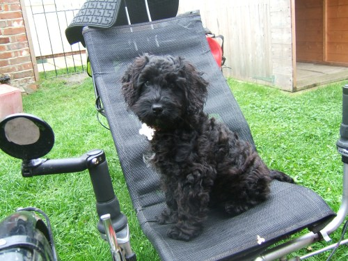 Poppy at 16 weeks on trike 2