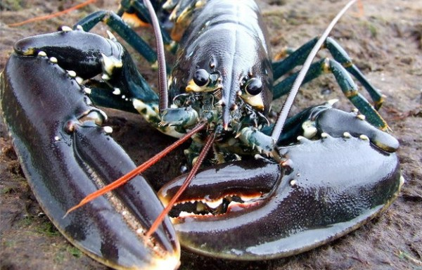 Live European Lobster
