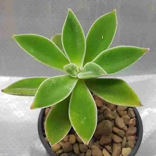Echeveria coccinea