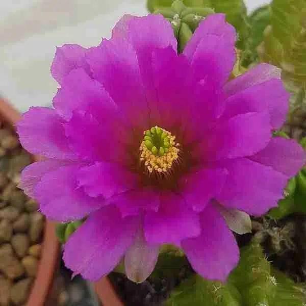 echinocereus-morricallii