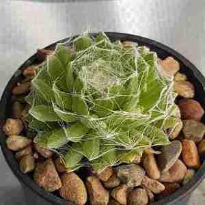 sempervivum arachnoideum cantha