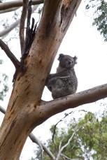 Koala im Eukalyptus-Baum