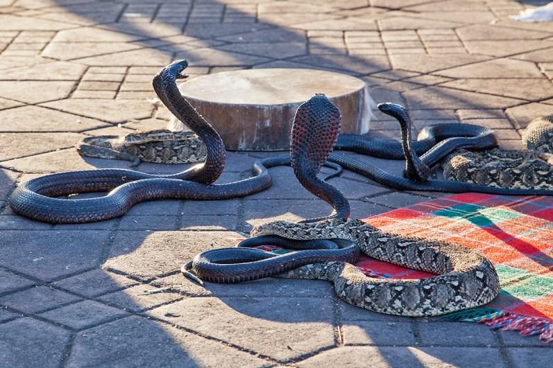 Kobras der Schlangenbeschwörer - Djemaa el Fna