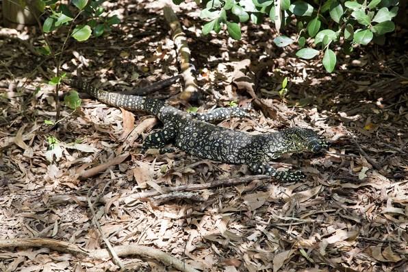 Lizard am Whitehaven Beach