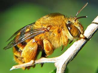 Teddy Bear Bee