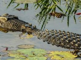 Crocodiles in Kakadu National Park