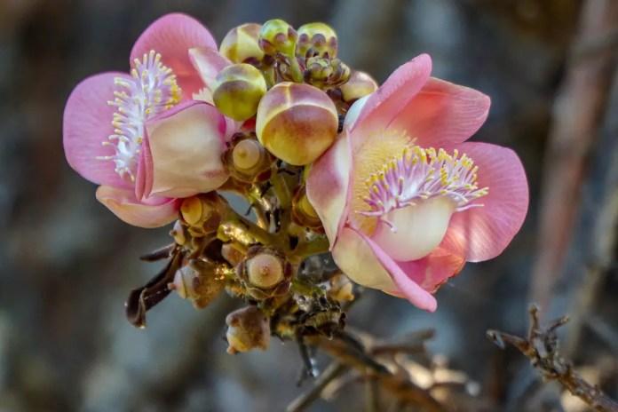 Darwin Botanical Gardens - the Cannonball Tree