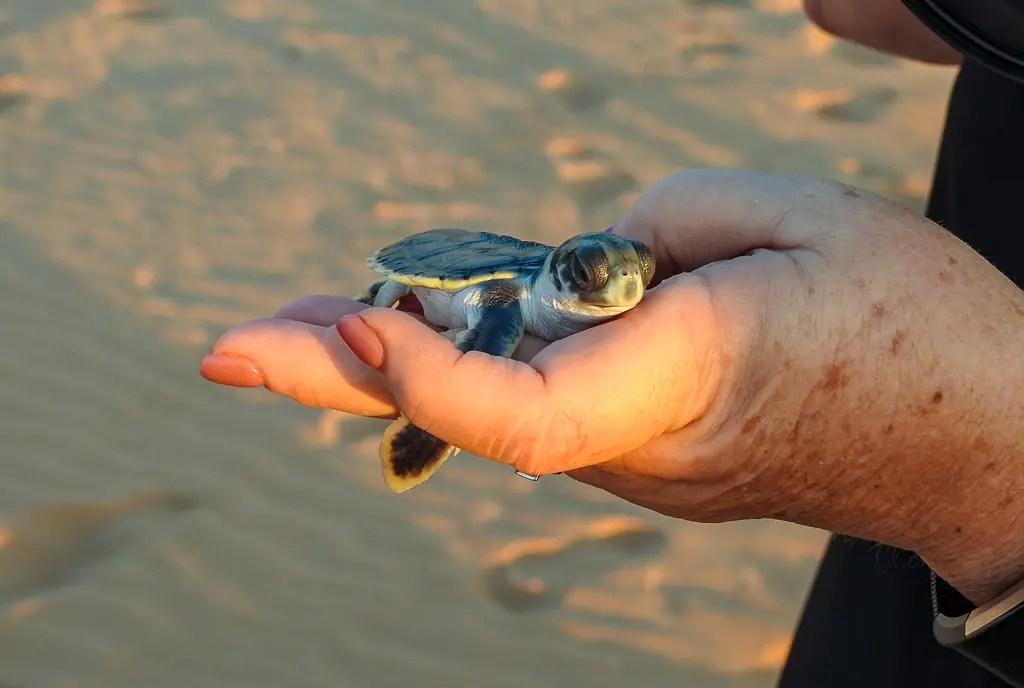 Bare Sand Island hatchlings