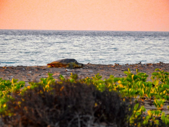 Turtles coming to nest