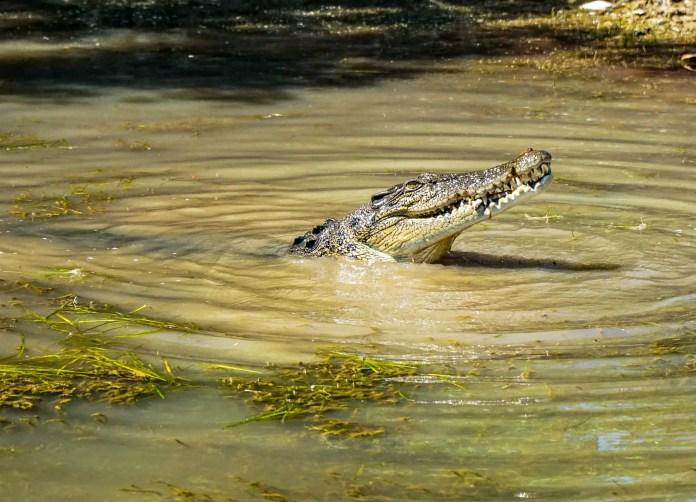 Saltwater Crocodile devouring a wild pig