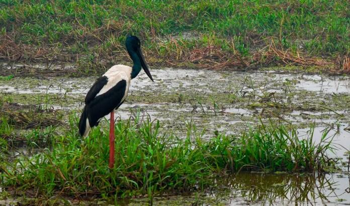 Black-necked Stork or Jabiru