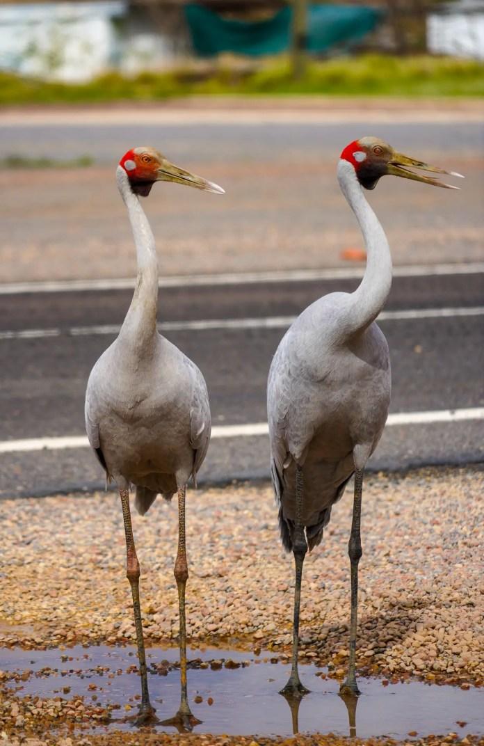 Brolga's in outback Queensland