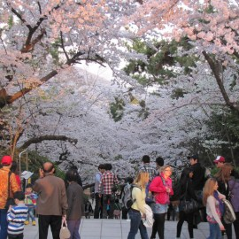 Cherry blossoms atop a mountain in Jinhae