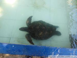 blind turtle